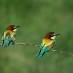Coppia di Merops apiaster - Gruccione (foto di Stefano Lorenzi)