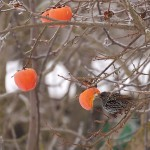 Sturnus vulgaris - Storno (foto di Stefano Lorenzi)
